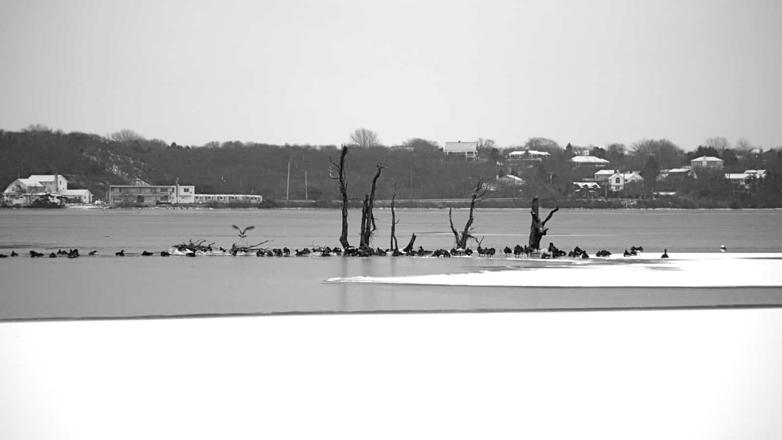 The Surf Lodge stands watch as geese congregate on Fort Pond's sunken island, Montauk NY, photo by Sailing Montauk
